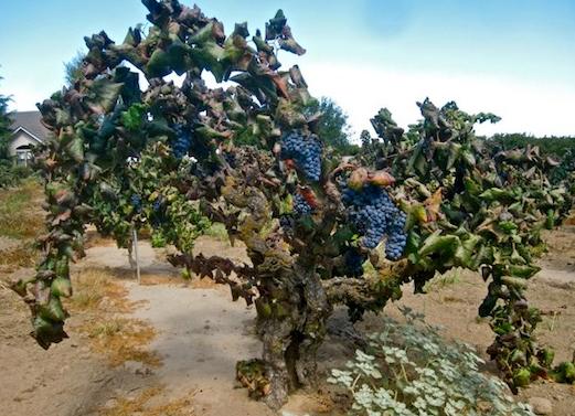 Crédito: https://www.eater.com/2011/6/28/6673733/alicante-bouschet-prohibitions-darling-grape