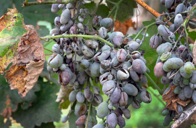 https://www.shutterstock.com/pt/image-photo/bunches-grapes-affected-by-powdery-mildew-1504746005