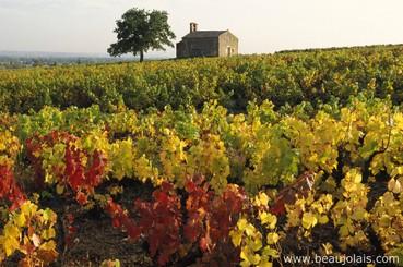 vinhedos de Beaujolais