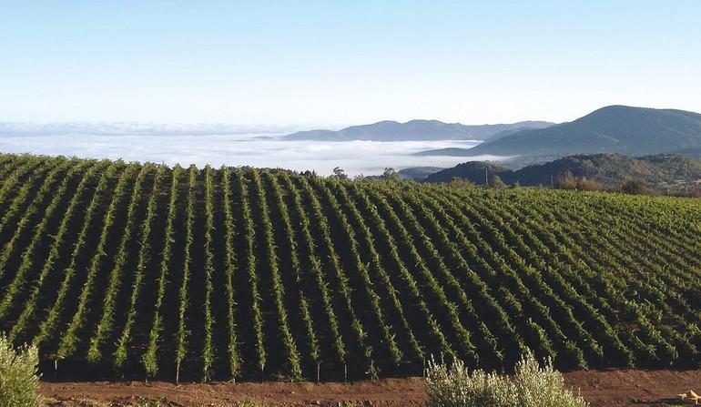 As vinhas de Cabernet Sauvignon da Califórnia são capazes de gerar alguns dos mais especiais vinhos do planeta, dignos de serem guardados por muitos anos