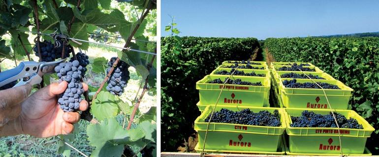 Produtores estão otimistas com a colheita das uvas base para espumantes, como a Pinot Noir e a Chardonnay