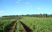 Descubra qual o potencial vinícola do Brasil
